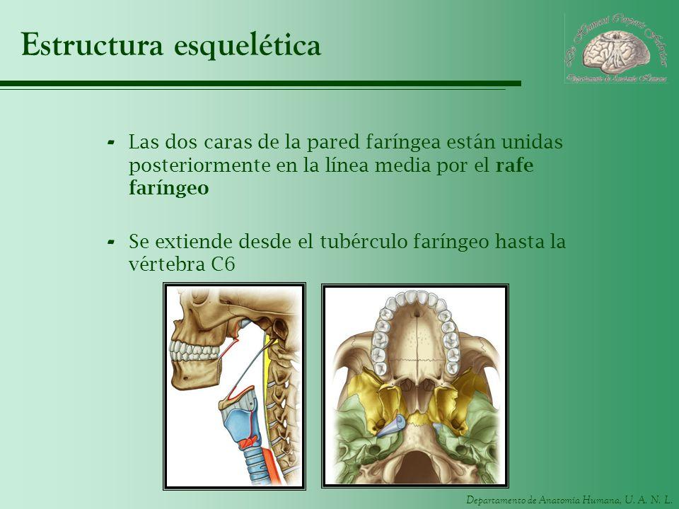 Departamento de Anatomía Humana, U. A. N. L. Estructura esquelética - Las dos caras de la pared faríngea están unidas posteriormente en la línea media