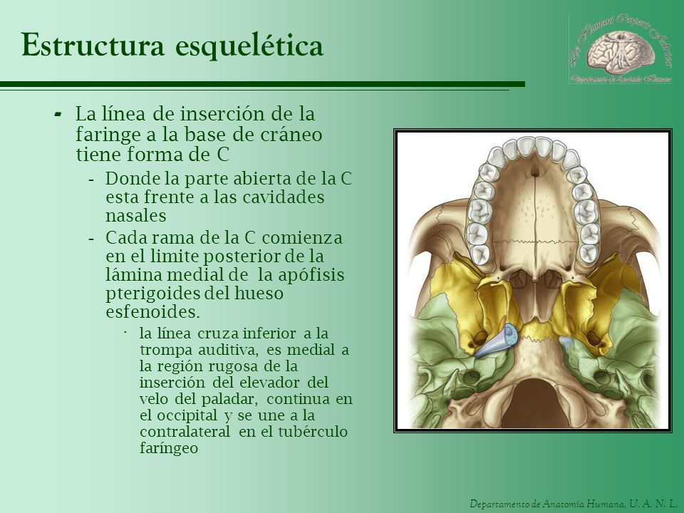 Departamento de Anatomía Humana, U. A. N. L. Estructura esquelética - La línea de inserción de la faringe a la base de cráneo tiene forma de C -Donde