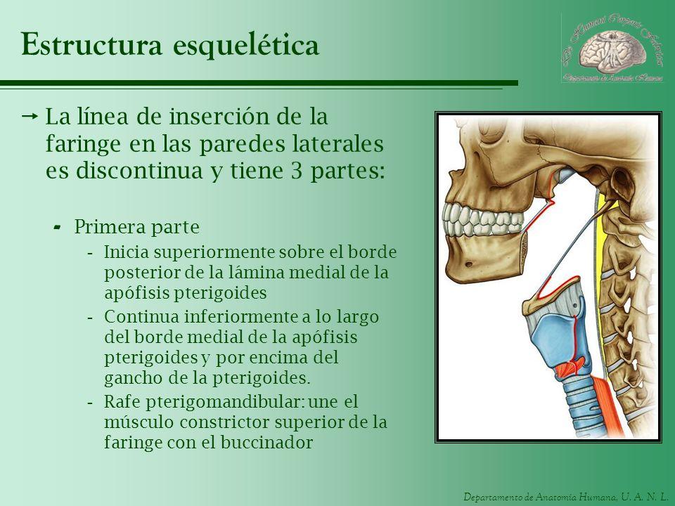Departamento de Anatomía Humana, U. A. N. L. Estructura esquelética La línea de inserción de la faringe en las paredes laterales es discontinua y tien