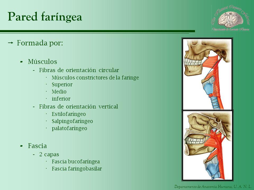 Departamento de Anatomía Humana, U. A. N. L. Pared faríngea Formada por: - Músculos -Fibras de orientación circular · Músculos constrictores de la far