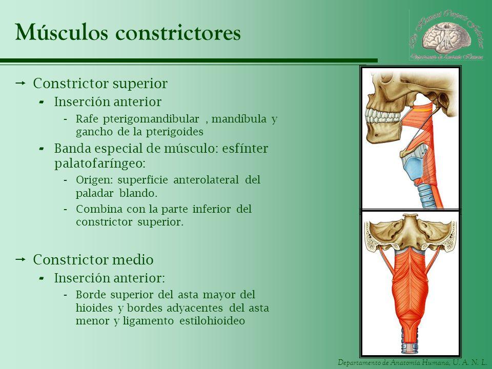 Departamento de Anatomía Humana, U. A. N. L. Músculos constrictores Constrictor superior - Inserción anterior -Rafe pterigomandibular, mandíbula y gan