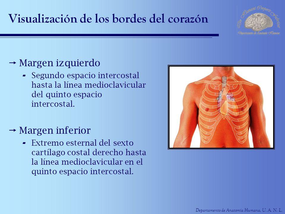 Departamento de Anatomía Humana, U. A. N. L. Visualización de los bordes del corazón Margen izquierdo - Segundo espacio intercostal hasta la línea med