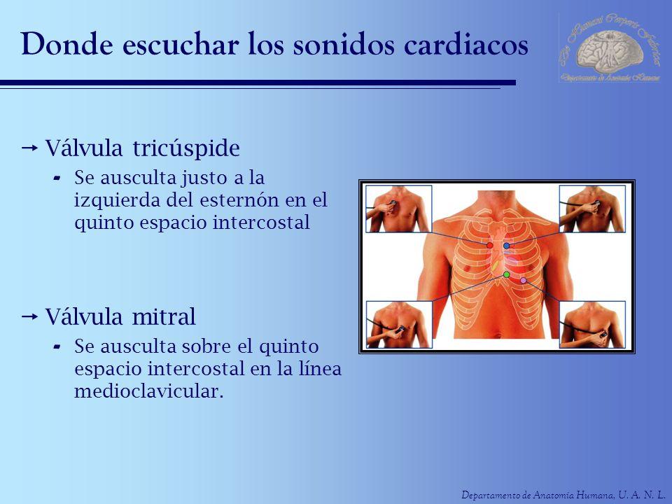 Departamento de Anatomía Humana, U. A. N. L. Donde escuchar los sonidos cardiacos Válvula tricúspide - Se ausculta justo a la izquierda del esternón e