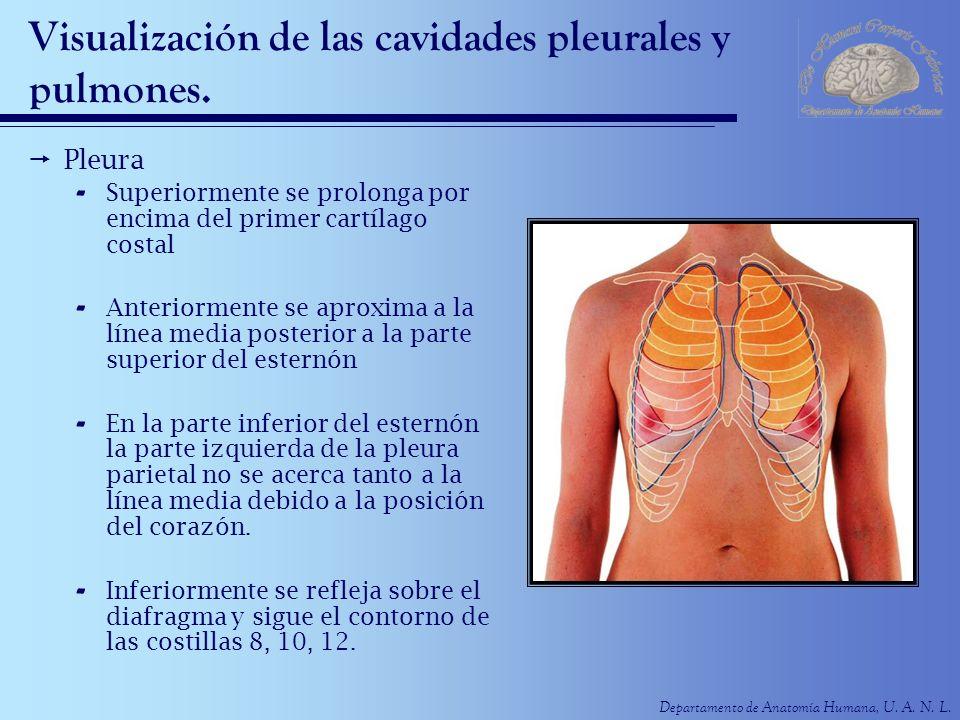 Departamento de Anatomía Humana, U. A. N. L. Visualización de las cavidades pleurales y pulmones. Pleura - Superiormente se prolonga por encima del pr