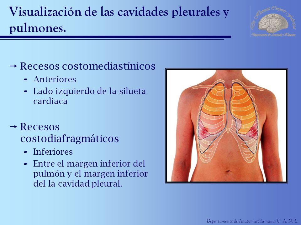 Departamento de Anatomía Humana, U. A. N. L. Visualización de las cavidades pleurales y pulmones. Recesos costomediastínicos - Anteriores - Lado izqui