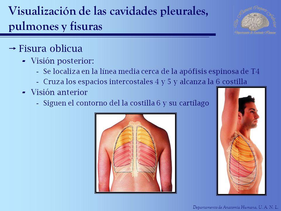 Departamento de Anatomía Humana, U. A. N. L. Visualización de las cavidades pleurales, pulmones y fisuras Fisura oblicua - Visión posterior: -Se local
