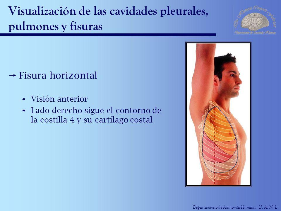 Departamento de Anatomía Humana, U. A. N. L. Visualización de las cavidades pleurales, pulmones y fisuras Fisura horizontal - Visión anterior - Lado d