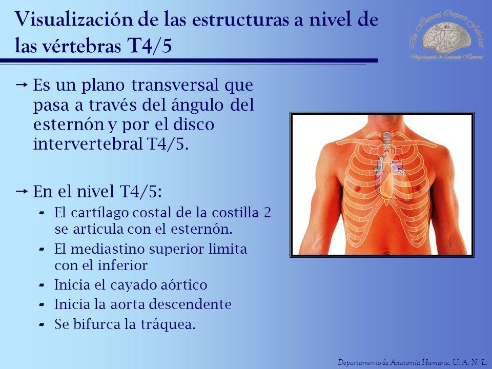 Departamento de Anatomía Humana, U. A. N. L. Visualización de las estructuras a nivel de las vértebras T4/5 Es un plano transversal que pasa a través