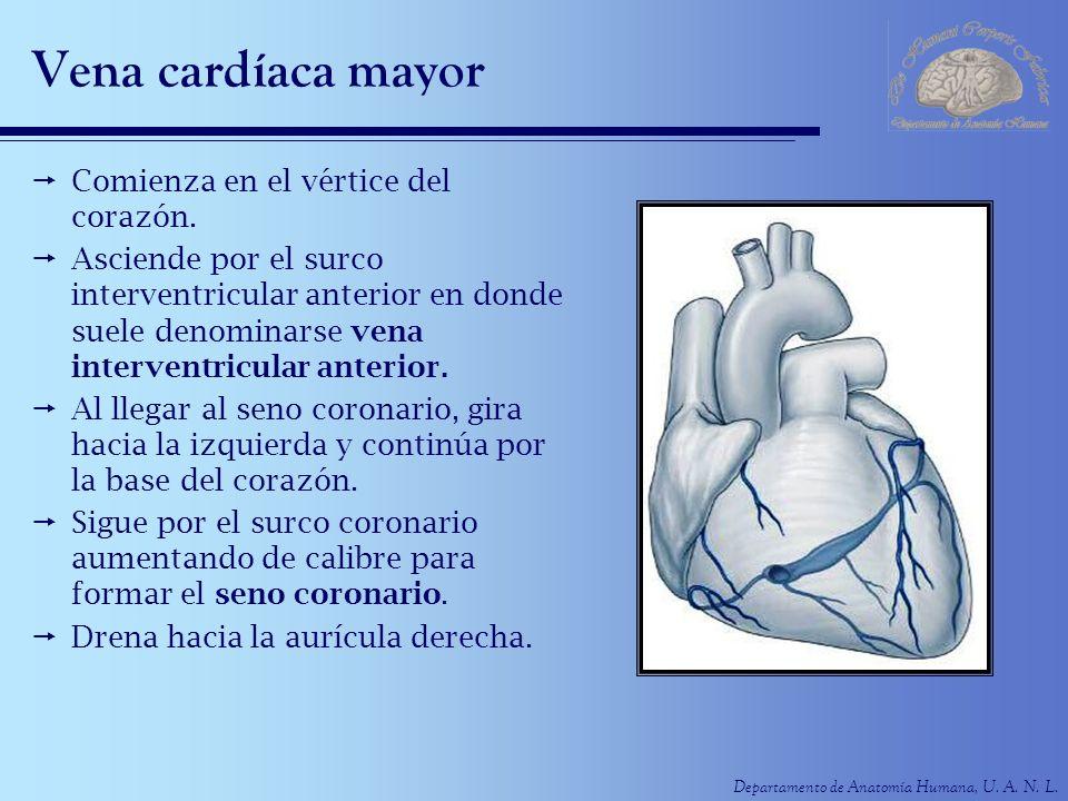 Departamento de Anatomía Humana, U.A. N. L. Vena cardíaca media O vena interventricular posterior.