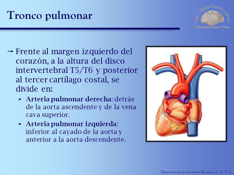 Departamento de Anatomía Humana, U.A. N. L. Aorta ascendente Contenida en el saco pericárdico.