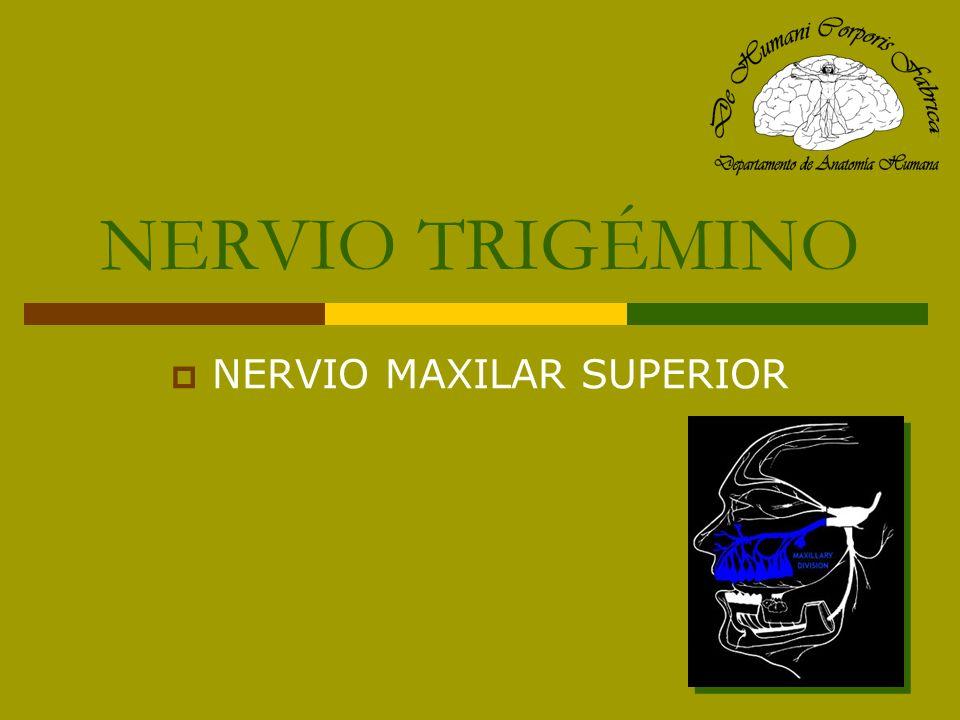 NERVIO MAXILAR SUPERIOR (V 2 ) Origen: porción media del ganglio de Gasser.