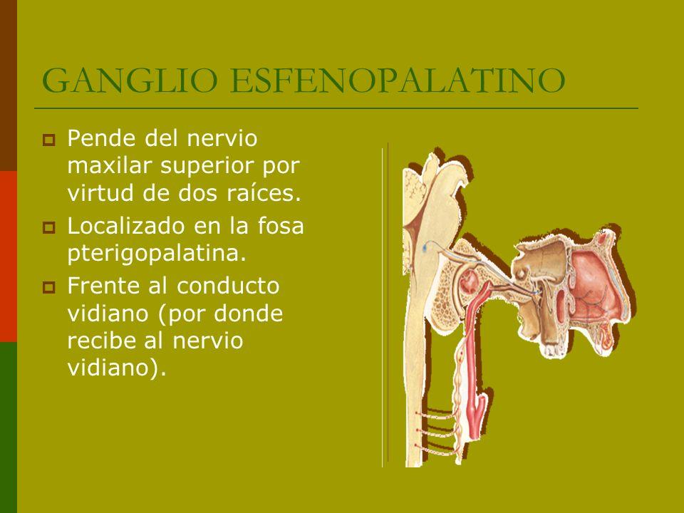 GANGLIO ESFENOPALATINO Pende del nervio maxilar superior por virtud de dos raíces. Localizado en la fosa pterigopalatina. Frente al conducto vidiano (