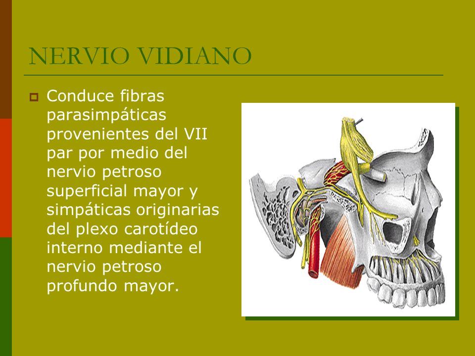 NERVIO VIDIANO Conduce fibras parasimpáticas provenientes del VII par por medio del nervio petroso superficial mayor y simpáticas originarias del plex