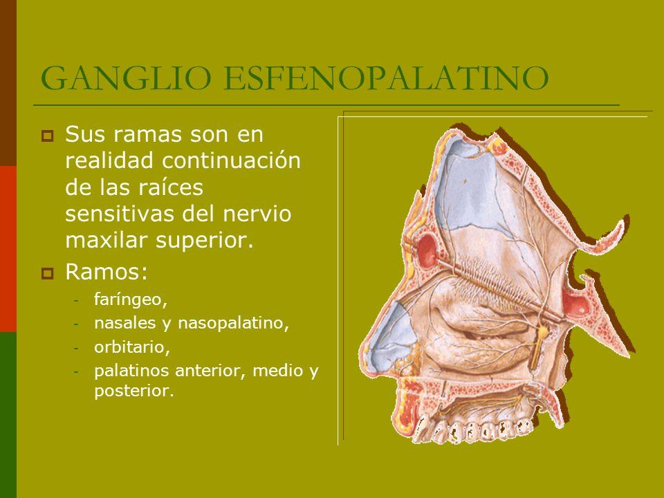 GANGLIO ESFENOPALATINO Sus ramas son en realidad continuación de las raíces sensitivas del nervio maxilar superior. Ramos: - faríngeo, - nasales y nas