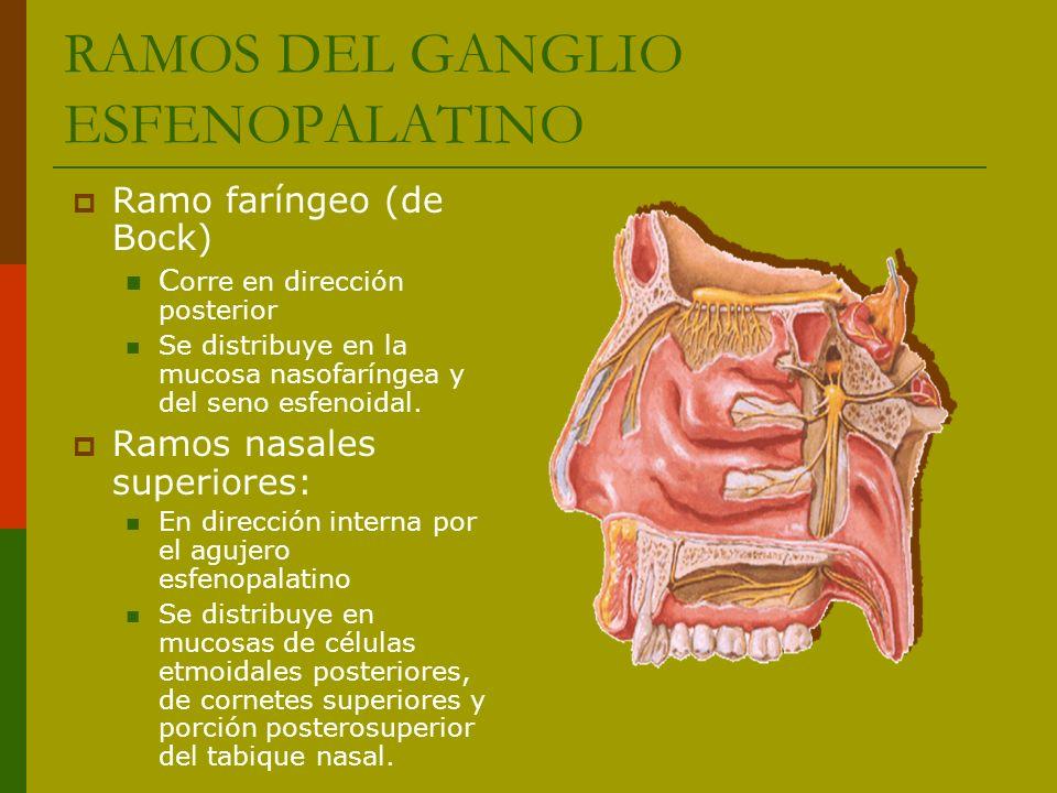 Ramo faríngeo (de Bock) C orre en dirección posterior Se distribuye en la mucosa nasofaríngea y del seno esfenoidal. Ramos nasales superiores: En dire