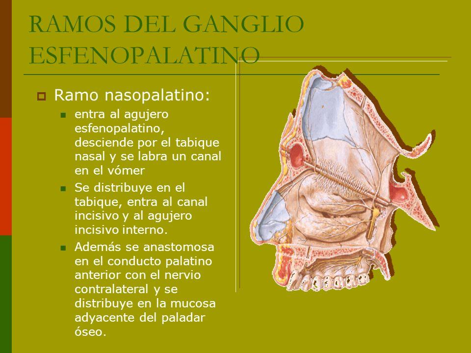 Ramo nasopalatino: entra al agujero esfenopalatino, desciende por el tabique nasal y se labra un canal en el vómer Se distribuye en el tabique, entra