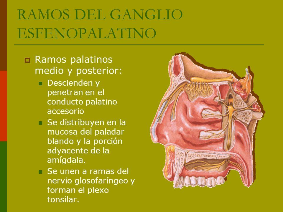 Ramos palatinos medio y posterior: Descienden y penetran en el conducto palatino accesorio Se distribuyen en la mucosa del paladar blando y la porción