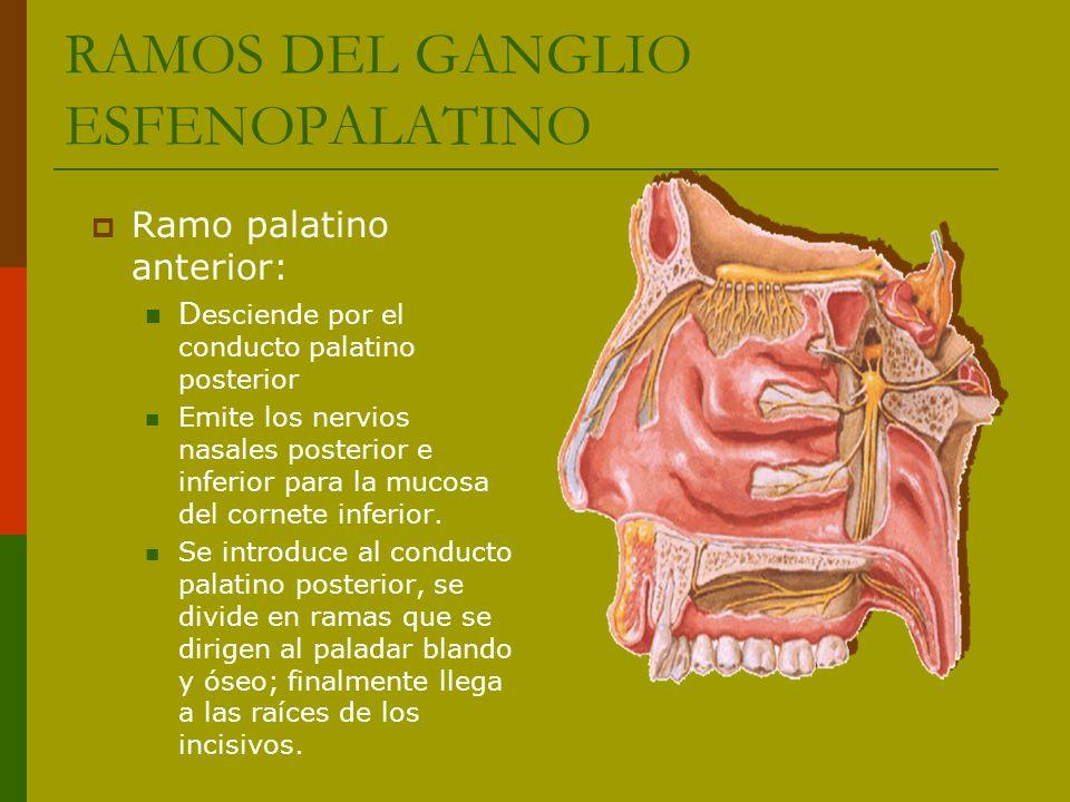 Ramo palatino anterior: D esciende por el conducto palatino posterior Emite los nervios nasales posterior e inferior para la mucosa del cornete inferi