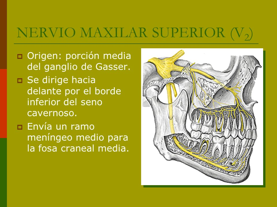 NERVIO MAXILAR SUPERIOR (V 2 ) Origen: porción media del ganglio de Gasser. Se dirige hacia delante por el borde inferior del seno cavernoso. Envía un