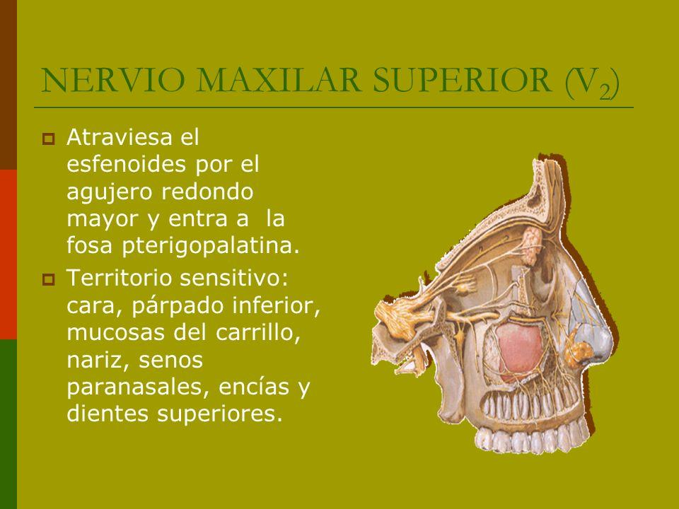 NERVIO MAXILAR SUPERIOR (V 2 ) Atraviesa el esfenoides por el agujero redondo mayor y entra a la fosa pterigopalatina. Territorio sensitivo: cara, pár