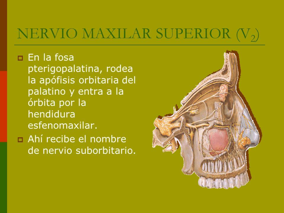 NERVIO MAXILAR SUPERIOR (V 2 ) En la fosa pterigopalatina emite: - Nervios dentales posteriores (2 o 3) - Nervio cigomático o ramo orbitario - Dos filetes gruesos de dirección interna hacia el ganglio esfenopalatino.