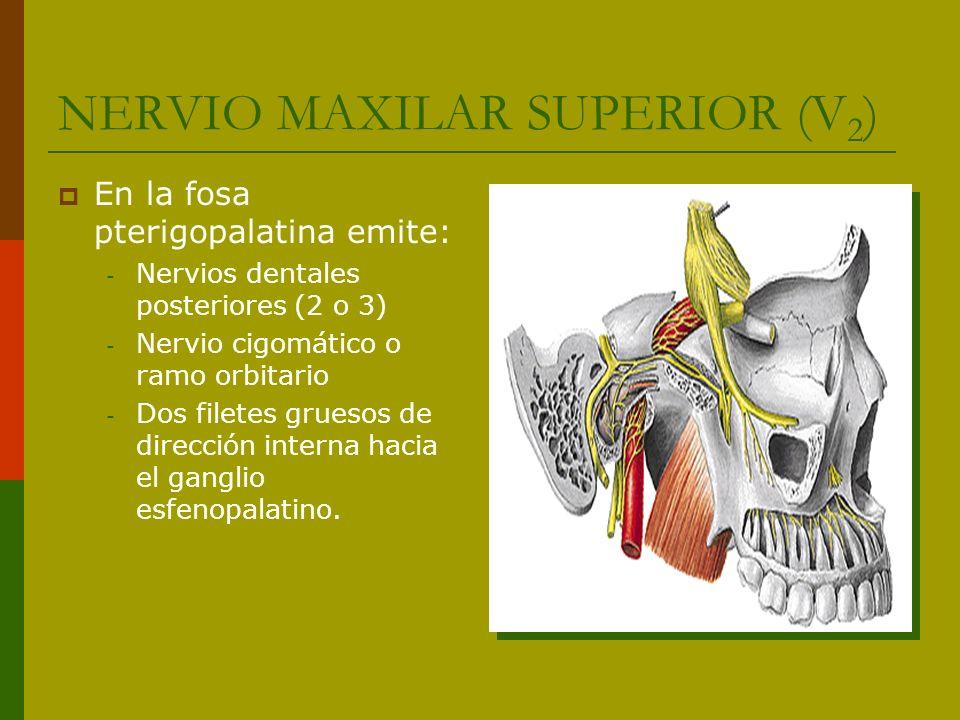 NERVIO MAXILAR SUPERIOR (V 2 ) En la fosa pterigopalatina emite: - Nervios dentales posteriores (2 o 3) - Nervio cigomático o ramo orbitario - Dos fil