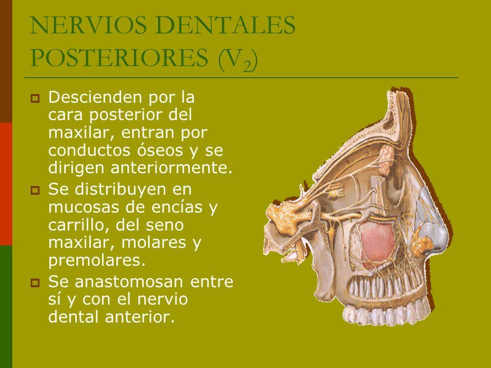 NERVIOS DENTALES POSTERIORES (V 2 ) Descienden por la cara posterior del maxilar, entran por conductos óseos y se dirigen anteriormente. Se distribuye