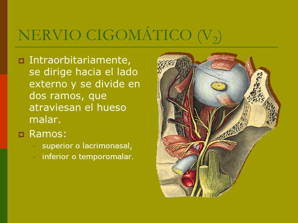 NERVIO CIGOMÁTICO (V 2 ) Intraorbitariamente, se dirige hacia el lado externo y se divide en dos ramos, que atraviesan el hueso malar. Ramos: - superi