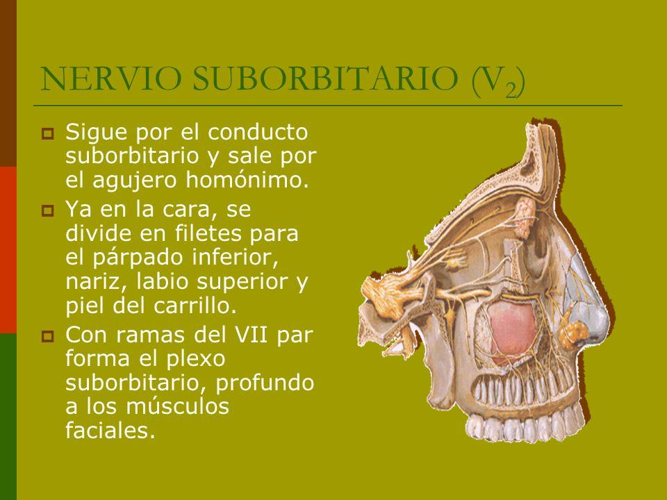 NERVIO SUBORBITARIO (V 2 ) Sigue por el conducto suborbitario y sale por el agujero homónimo. Ya en la cara, se divide en filetes para el párpado infe