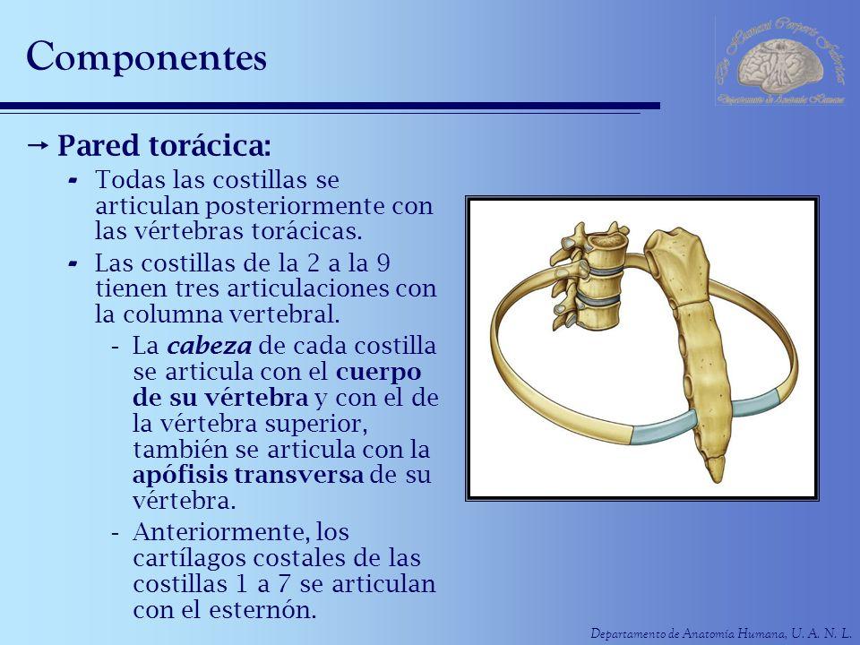 Departamento de Anatomía Humana, U. A. N. L. Componentes Pared torácica: - Todas las costillas se articulan posteriormente con las vértebras torácicas
