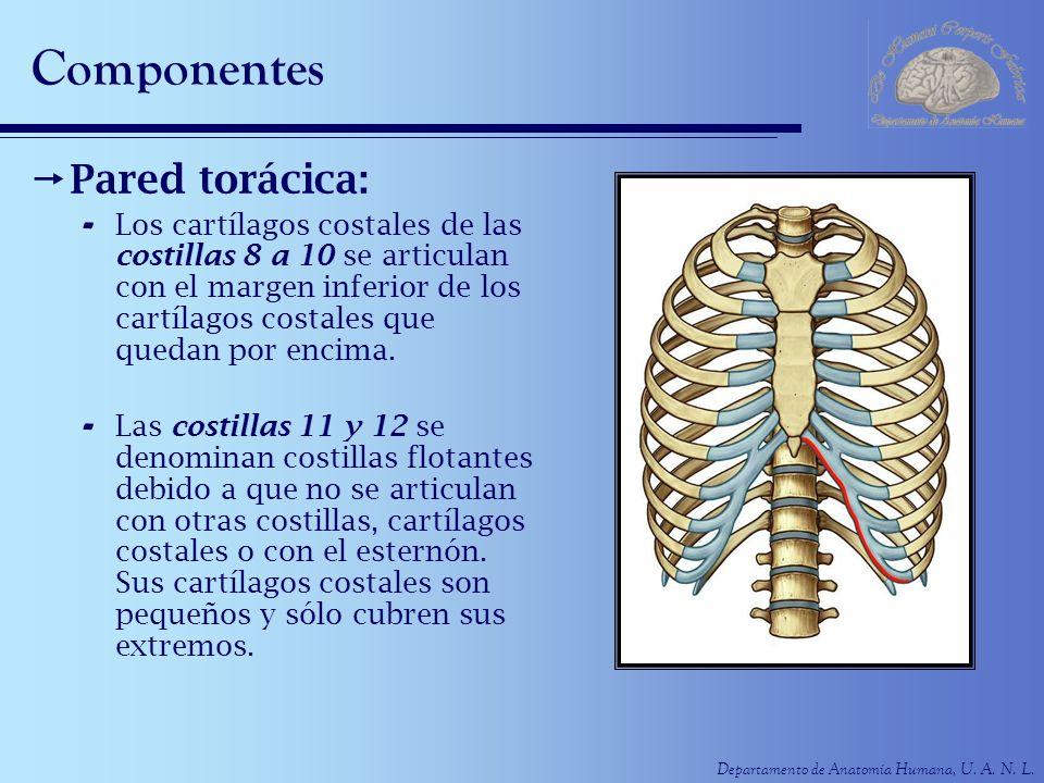 Departamento de Anatomía Humana, U. A. N. L. Componentes Pared torácica: - Los cartílagos costales de las costillas 8 a 10 se articulan con el margen