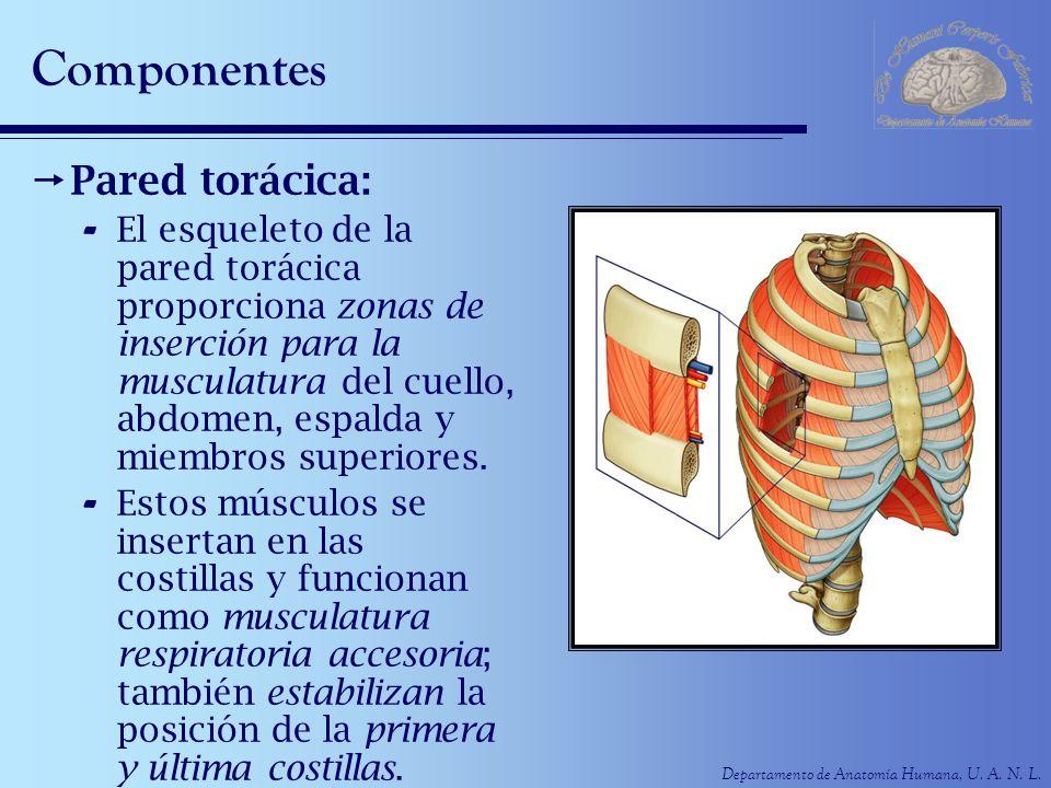 Departamento de Anatomía Humana, U. A. N. L. Componentes Pared torácica: - El esqueleto de la pared torácica proporciona zonas de inserción para la mu