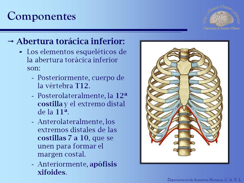 Departamento de Anatomía Humana, U. A. N. L. Componentes Abertura torácica inferior: - Los elementos esqueléticos de la abertura torácica inferior son