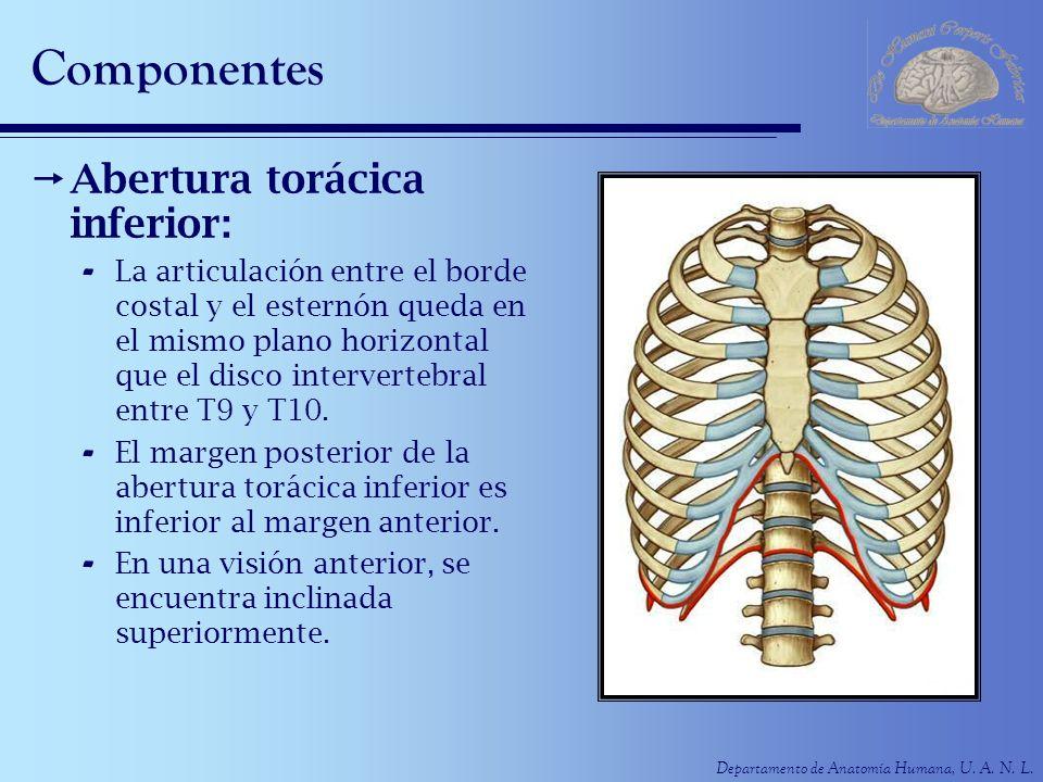 Departamento de Anatomía Humana, U. A. N. L. Componentes Abertura torácica inferior: - La articulación entre el borde costal y el esternón queda en el