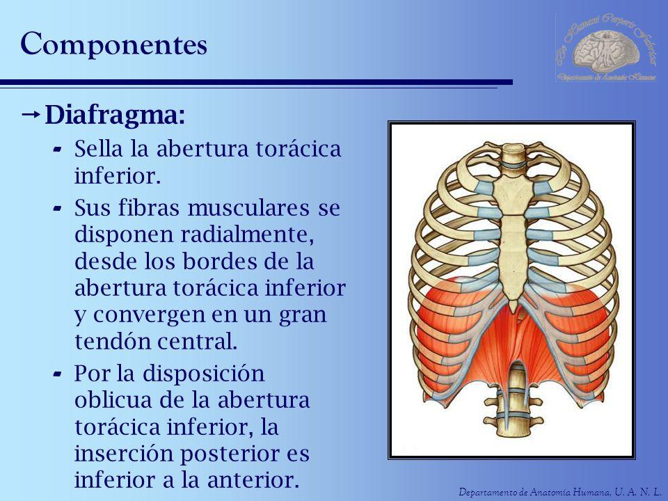 Departamento de Anatomía Humana, U. A. N. L. Componentes Diafragma: - Sella la abertura torácica inferior. - Sus fibras musculares se disponen radialm