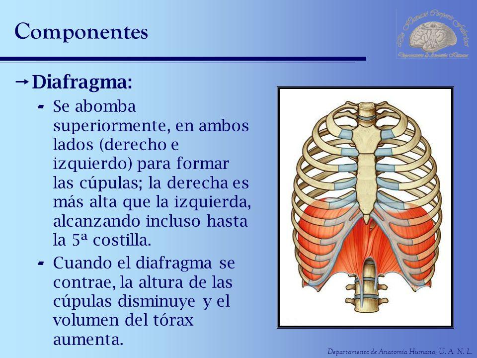Departamento de Anatomía Humana, U. A. N. L. Componentes Diafragma: - Se abomba superiormente, en ambos lados (derecho e izquierdo) para formar las cú