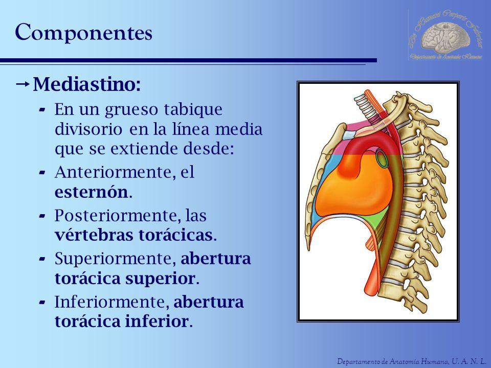 Departamento de Anatomía Humana, U. A. N. L. Componentes Mediastino: - En un grueso tabique divisorio en la línea media que se extiende desde: - Anter