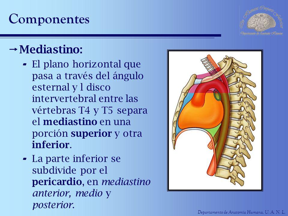 Departamento de Anatomía Humana, U. A. N. L. Componentes Mediastino: - El plano horizontal que pasa a través del ángulo esternal y l disco interverteb