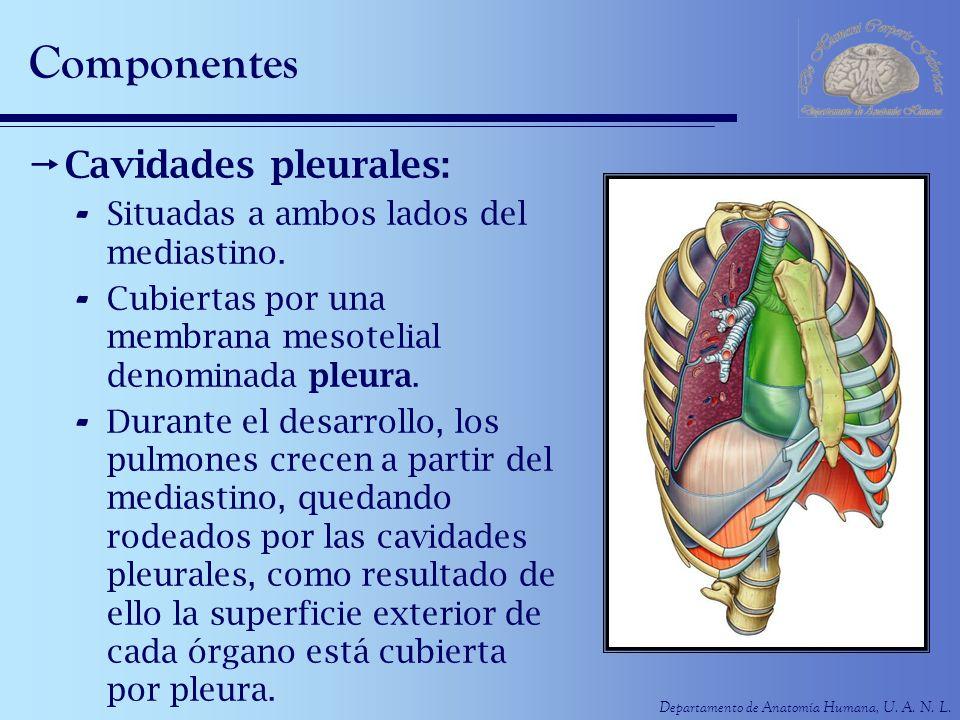 Departamento de Anatomía Humana, U. A. N. L. Componentes Cavidades pleurales: - Situadas a ambos lados del mediastino. - Cubiertas por una membrana me
