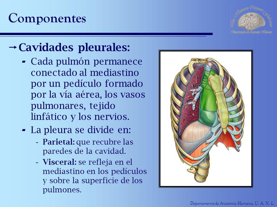 Departamento de Anatomía Humana, U. A. N. L. Componentes Cavidades pleurales: - Cada pulmón permanece conectado al mediastino por un pedículo formado