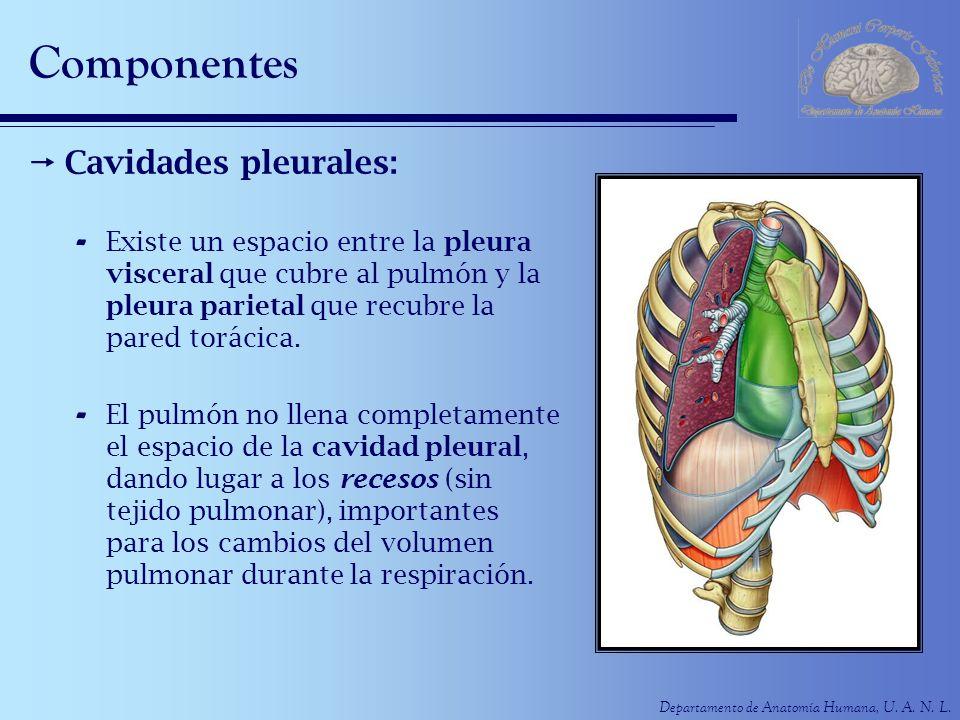Departamento de Anatomía Humana, U. A. N. L. Componentes Cavidades pleurales: - Existe un espacio entre la pleura visceral que cubre al pulmón y la pl