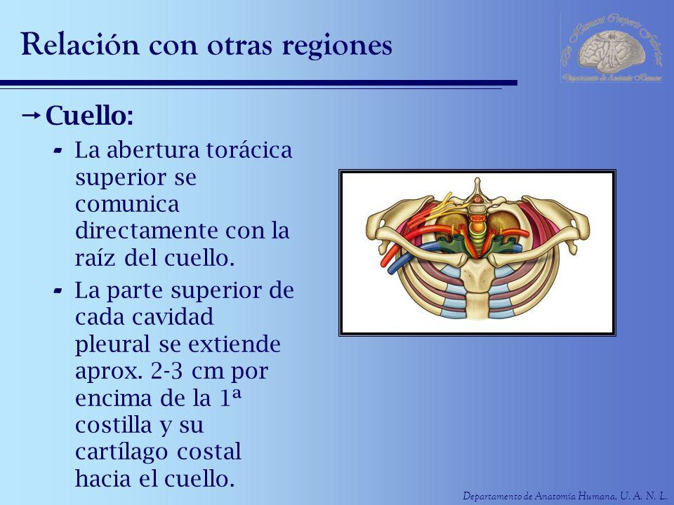 Departamento de Anatomía Humana, U. A. N. L. Relación con otras regiones Cuello: - La abertura torácica superior se comunica directamente con la raíz
