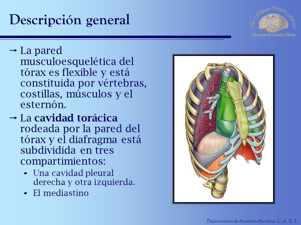 Departamento de Anatomía Humana, U. A. N. L. Descripción general La pared musculoesquelética del tórax es flexible y está constituida por vértebras, c