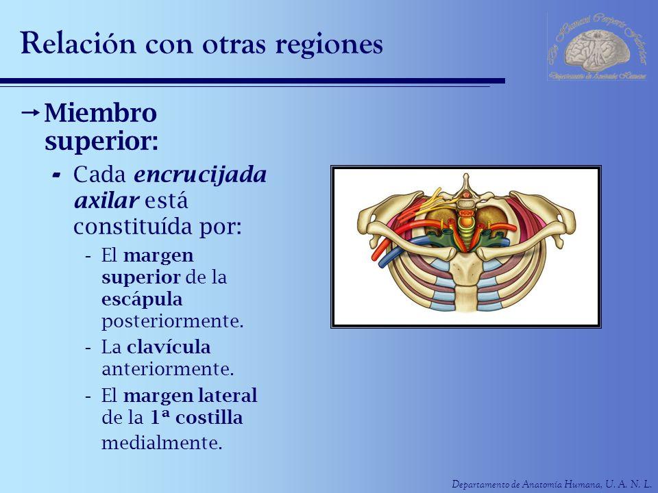 Departamento de Anatomía Humana, U. A. N. L. Relación con otras regiones Miembro superior: - Cada encrucijada axilar está constituída por: -El margen