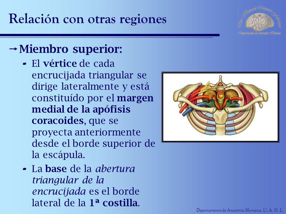 Departamento de Anatomía Humana, U. A. N. L. Relación con otras regiones Miembro superior: - El vértice de cada encrucijada triangular se dirige later