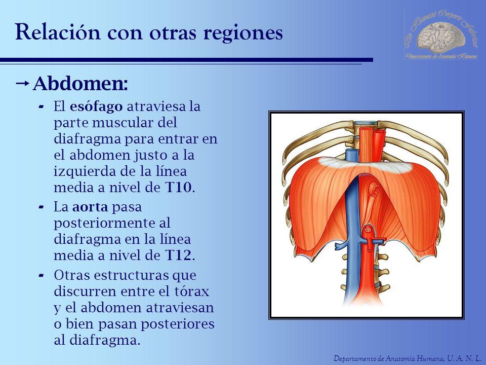Departamento de Anatomía Humana, U. A. N. L. Relación con otras regiones Abdomen: - El esófago atraviesa la parte muscular del diafragma para entrar e