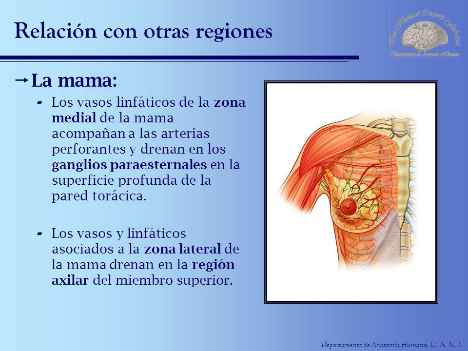 Departamento de Anatomía Humana, U. A. N. L. Relación con otras regiones La mama: - Los vasos linfáticos de la zona medial de la mama acompañan a las