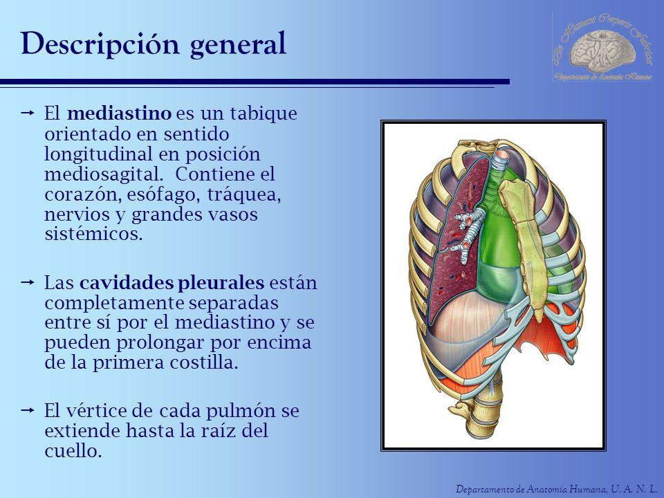 Departamento de Anatomía Humana, U. A. N. L. Descripción general El mediastino es un tabique orientado en sentido longitudinal en posición mediosagita