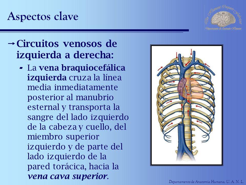 Departamento de Anatomía Humana, U. A. N. L. Aspectos clave Circuitos venosos de izquierda a derecha: - La vena braquiocefálica izquierda cruza la lín