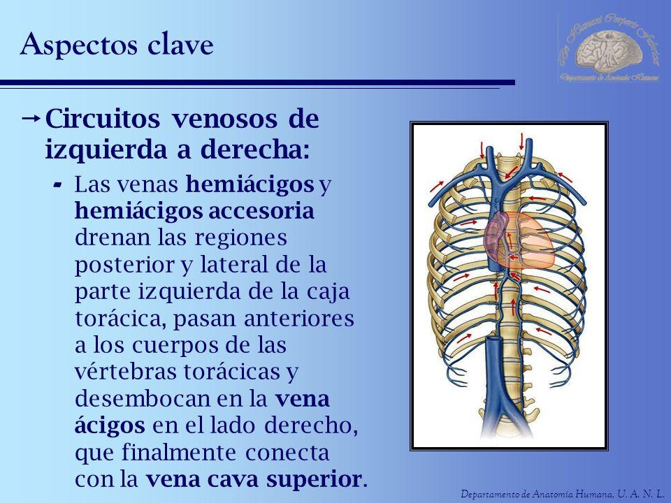 Departamento de Anatomía Humana, U. A. N. L. Aspectos clave Circuitos venosos de izquierda a derecha: - Las venas hemiácigos y hemiácigos accesoria dr